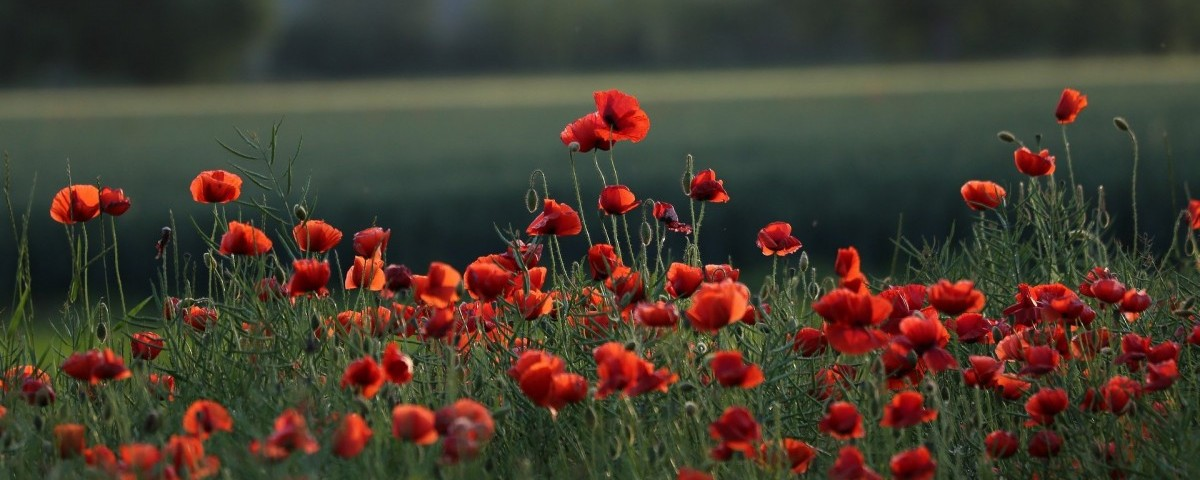red-poppies-5206943 1920